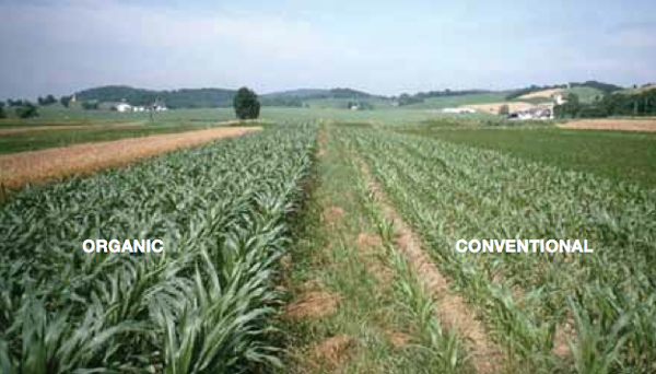Corn grown in organic and conventional plots